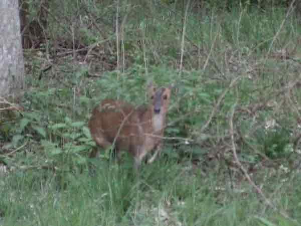 Muntjac deer standing in brambles
