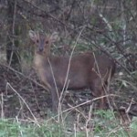Muntjac standing in woodland