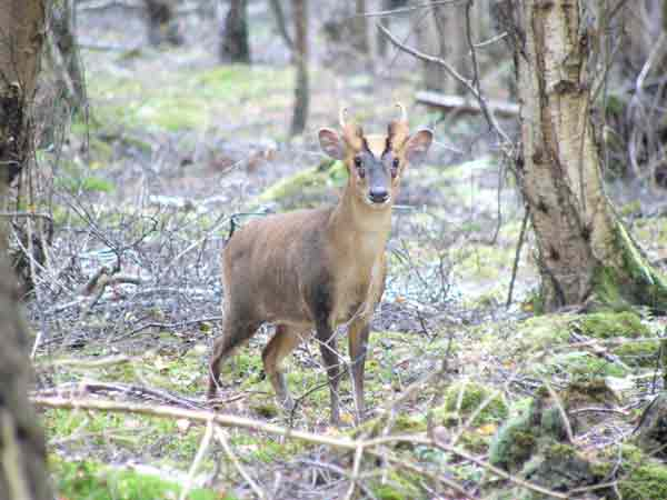 Muntjac buck standing in woodland clearing
