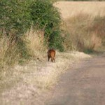 Muntjac browsing edge of road