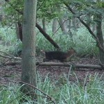Muntjac deer running through woodland