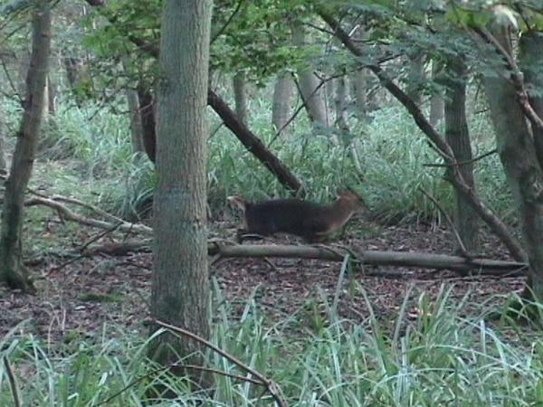 Muntjac deer running through woodland
