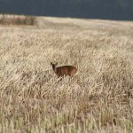 Muntjac deer standing in stubble field