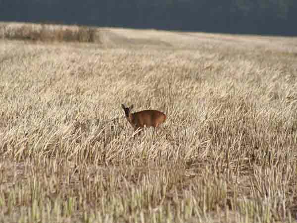 Muntjac deer standing in stubble field