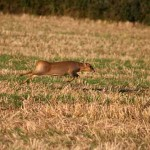 Muntjac running a cross open field
