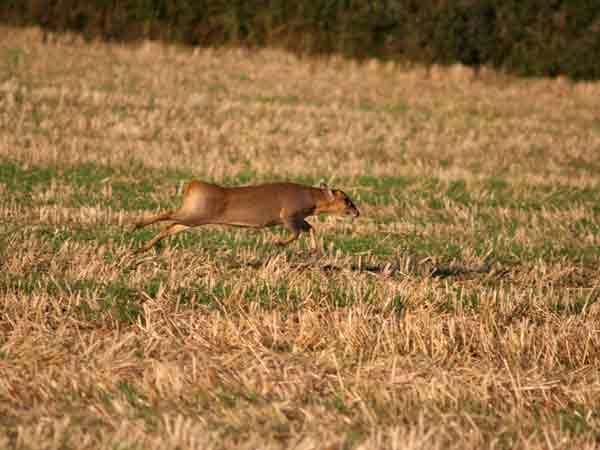 Muntjac running a cross open field