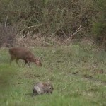 Muntjac and rabbit grazing