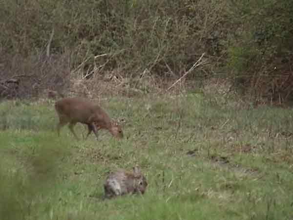 Muntjac and rabbit grazing