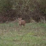 Muntjac deer standing facing camera on edge of woodland