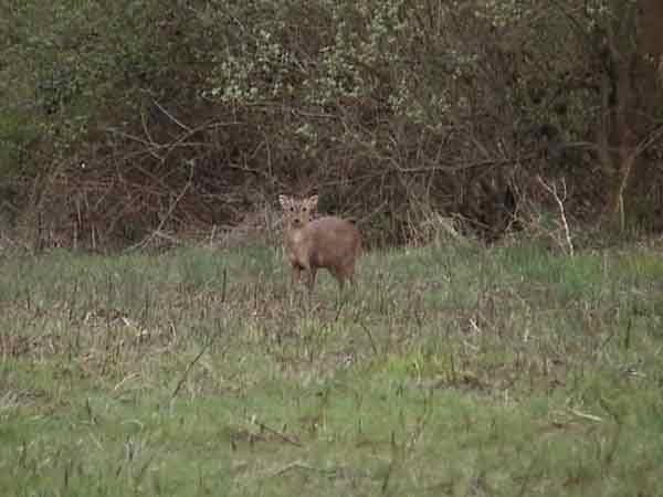 Muntjac deer standing facing camera on edge of woodland