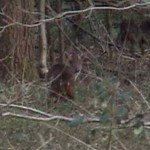 Muntjac obscured by woodland cover