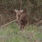 Muntjac deer looking back over shoulder