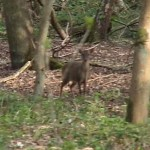 Muntjac deer standing in woodland