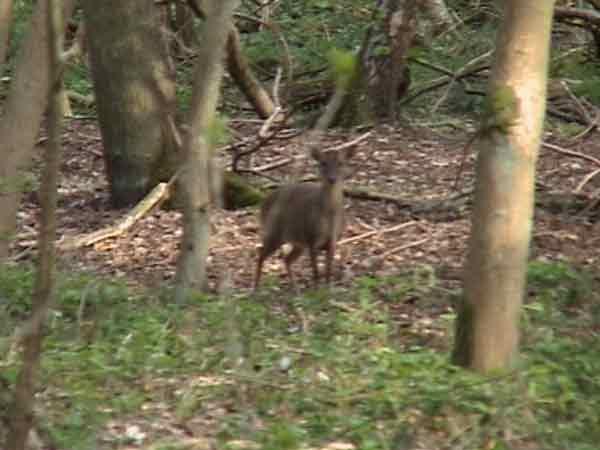 Muntjac deer standing in woodland