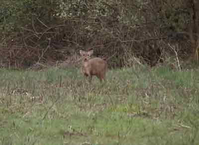Muntjac deer standing facing the sound of a call